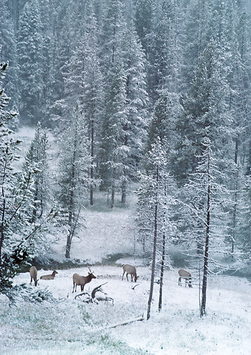 WLD 22 BA0005 01 © Kimball Stock Herd Of Elk Grazing In Snowy Meadow