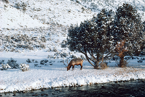 WLD 22 BA0009 01 © Kimball Stock Elk Bull Grazing In Snow By Stream And Trees