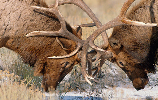 WLD 22 MC0004 01 © Kimball Stock Close-Up Of Two Bull Elks Fighting Yellowstone National Park