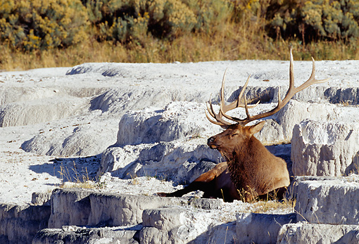 WLD 22 MC0005 01 © Kimball Stock Bull Elk Relaxing On Rock Yellowstone National Park