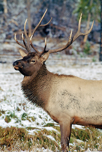WLD 22 MC0008 01 © Kimball Stock Portrait Of Bull Elk In Snow Yellowstone National Park