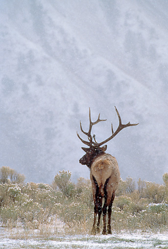 WLD 22 MC0009 01 © Kimball Stock Back View Of Bull Elk Standing In Snow Yellowstone National Park