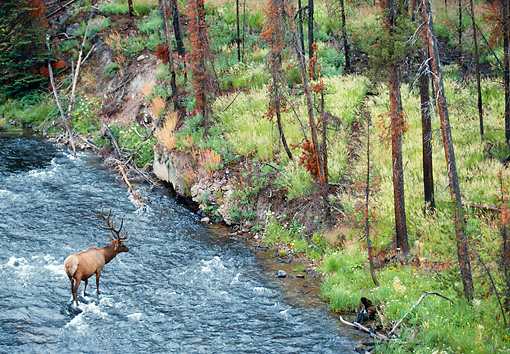 WLD 22 NE0005 01 © Kimball Stock Bull Elk In Velvet Crossing Madison River, Yellowstone National Park
