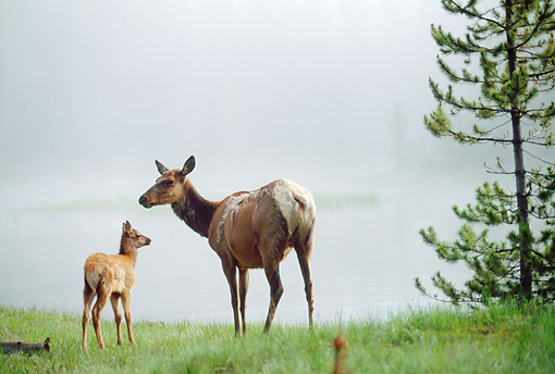 WLD 22 NE0006 01 © Kimball Stock Elk Cow And Calf Standing At Edge Of Lake In Foggy Spring Morning