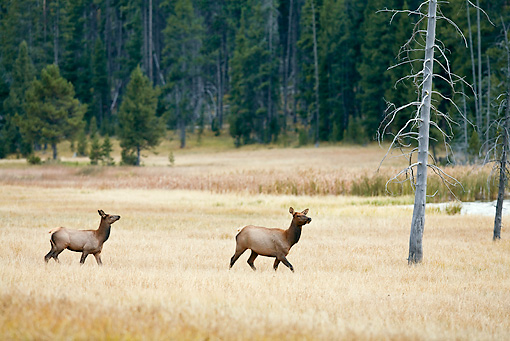 WLD 22 RF0016 01 © Kimball Stock Elk Cow And Calf Walking In Field