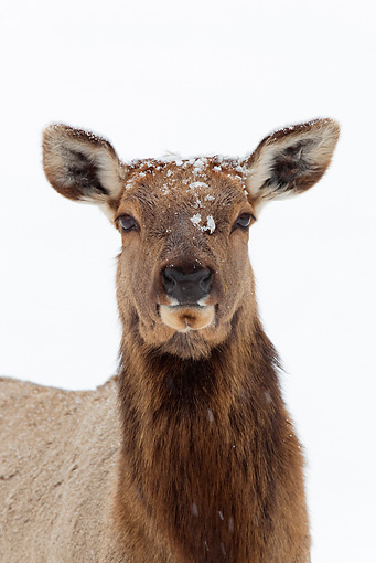 WLD 22 WF0001 01 © Kimball Stock Head Shot Of Elk Hind Standing In Snow