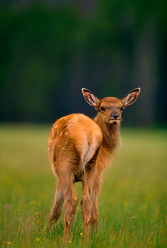 WLD 22 DB0001 01 © Kimball Stock Rocky Mountain Elk Calf In Meadow Looking Back Montana