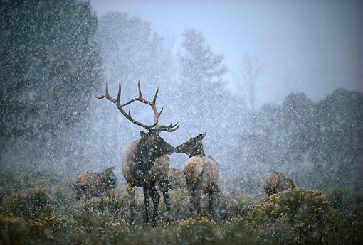 WLD 22 DB0002 01 © Kimball Stock Rocky Mountain Elk Bull And Cow Touching Noses In Snowstorm