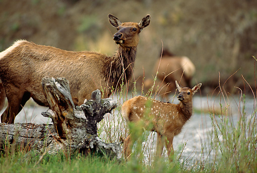 WLD 22 DB0003 01 © Kimball Stock Rocky Mountain Elk Cow And Newborn Calf Standing At River