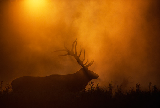 WLD 22 DB0018 01 © Kimball Stock Silhouette Of Rocky Mountain Bull Elk Bedded In Field In Fog With Sun
