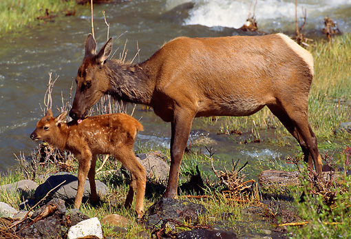WLD 22 TL0002 01 © Kimball Stock Cow And Calf Elk By Water