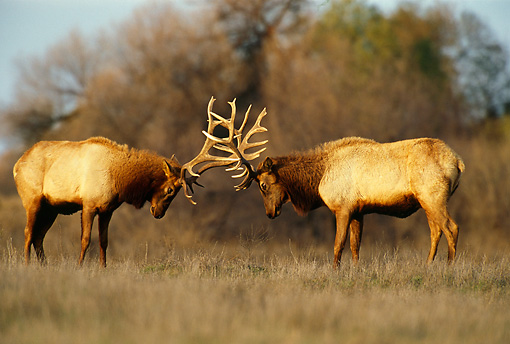 WLD 22 TL0004 01 © Kimball Stock Two Elk Bulls Fighting