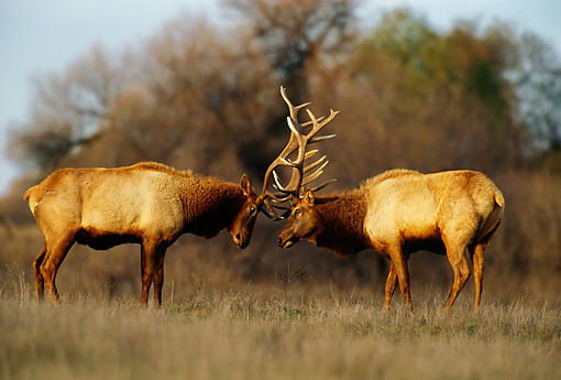WLD 22 TL0005 01 © Kimball Stock Two Elk Bulls Fighting