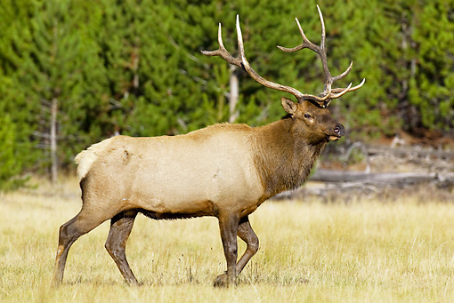 WLD 22 TL0011 01 © Kimball Stock Bull Elk Walking In Field By Trees Rocky Mountains