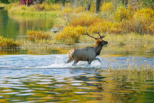 WLD 22 TL0012 01 © Kimball Stock Bull Elk Crossing River Autumn Rocky Mountains