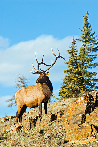 WLD 22 TL0013 01 © Kimball Stock Bull Elk Standing On Ridge By Trees Blue Sky Rocky Mountains