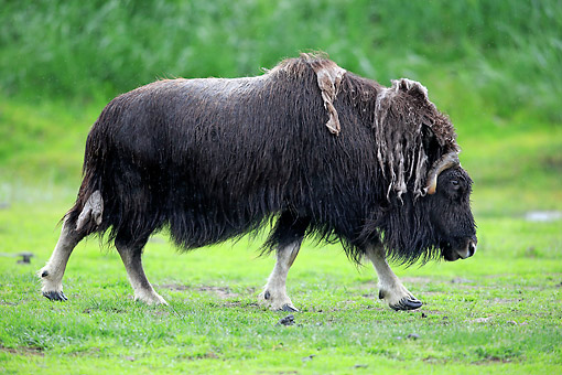 WLD 23 AC0002 01 © Kimball Stock Muskox Walking In Anchorage Alaska, USA