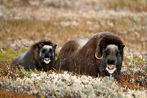 WLD 23 AC0003 01 © Kimball Stock Muskox Adult And Young Walking Through Bushes In Autumn, Norway