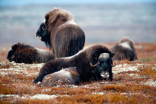 WLD 23 AC0004 01 © Kimball Stock Muskox Adults And Young Laying In Autumn Bushes, Norway