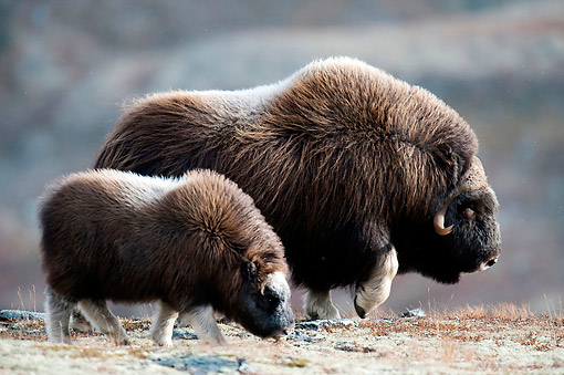 WLD 23 AC0005 01 © Kimball Stock Muskox Adult And Young Walking Over Icy Ground, Norway