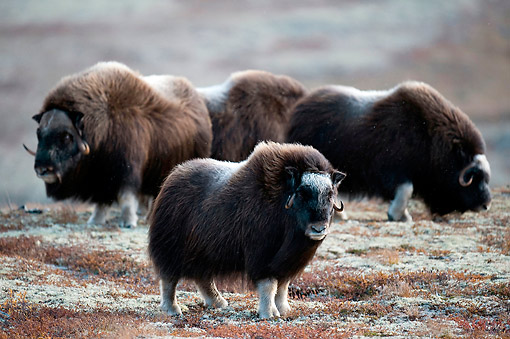 WLD 23 AC0006 01 © Kimball Stock Muskox Adults And Young Standing On Icy Ground, Norway