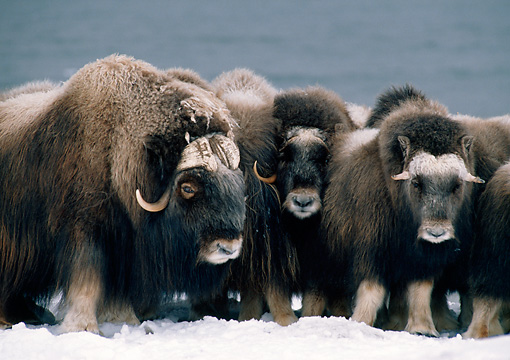 WLD 23 BA0002 01 © Kimball Stock Group Of Muskoxen Huddled Standing In Snow