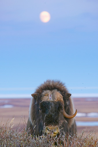 WLD 23 NE0001 01 © Kimball Stock Elderly Muskox Bull With One Horn Standing On Tundra Alaska