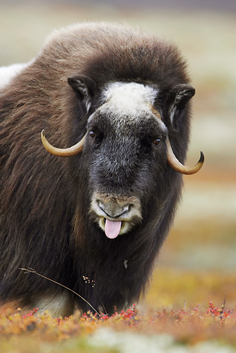 WLD 23 WF0001 01 © Kimball Stock Portrait Of Muskox Female With Tongue Sticking Out
