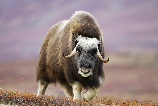 WLD 23 WF0002 01 © Kimball Stock Muskox Female Walking Across Tundra In Autumn