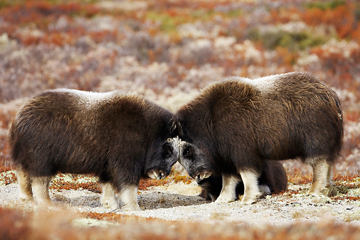 WLD 23 WF0003 01 © Kimball Stock Two Young Muskoxen Play Fighting In Tundra