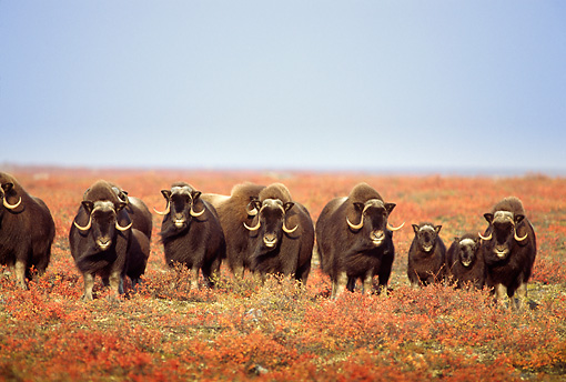 WLD 23 TL0001 01 © Kimball Stock Herd Of Muskox Standing In Field Shoulder-to-shoulder Facing Camera