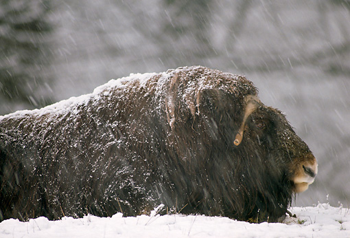 WLD 23 TL0002 01 © Kimball Stock Profile Of Muskox Laying On Ground In Snowstorm