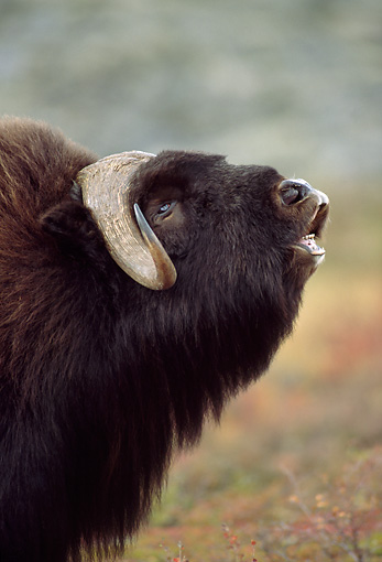 WLD 23 TL0003 01 © Kimball Stock Profile Head Shot Of Muskox Roaring