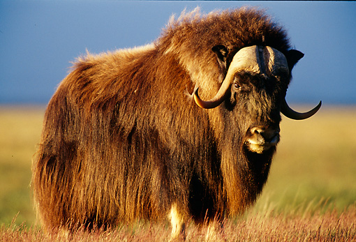 WLD 23 TL0004 01 © Kimball Stock Portrait Of Muskox Bull Standing In Field In Summer In Arctic National Wildlife Refuge