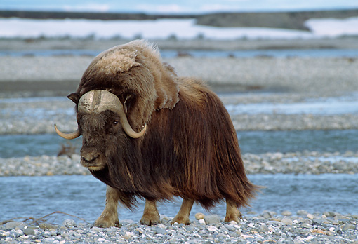 WLD 23 TL0005 01 © Kimball Stock Muskox Bull Standing On Rocky Plain Near Water In Arctic National Wildlife Refuge