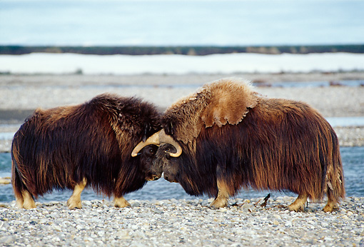 WLD 23 TL0006 01 © Kimball Stock Two Muskox Bulls Butting Heads On Rocky Plain Near Water In Arctic National Wildlife Refuge