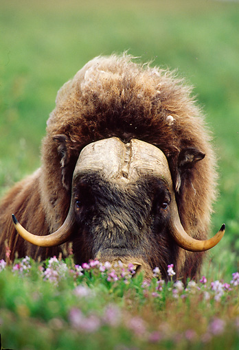 WLD 23 TL0007 01 © Kimball Stock Head Shot Of Muskox Bull Laying In Flowers In Arctic National Wildlife Refuge
