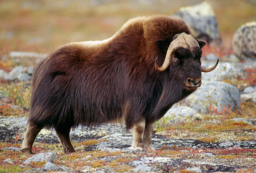 WLD 23 TL0008 01 © Kimball Stock Muskox Bull Standing On Rocky Plain In Autumn