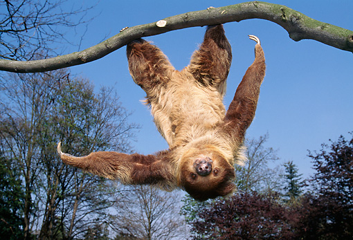 WLD 24 GL0001 01 © Kimball Stock Two-Toed Sloth Hanging Upside-Down From Tree Branch