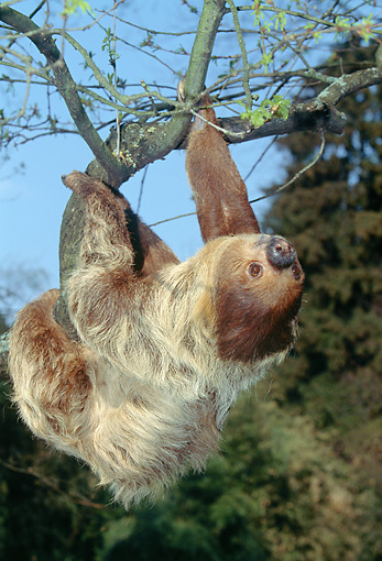 WLD 24 GL0002 01 © Kimball Stock Two-Toed Sloth Hanging Upside-Down From Tree Branch