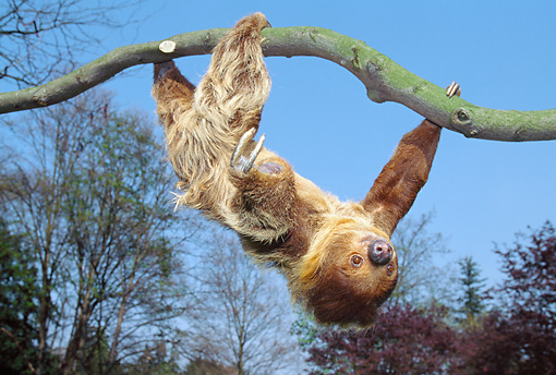 WLD 24 GL0003 01 © Kimball Stock Sloth Hanging Upside-Down From Branch