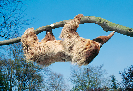 WLD 24 GL0004 01 © Kimball Stock Linnaeus's Two-Toed Sloth Crawling Upside-Down On Branch