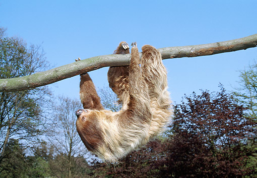 WLD 24 GL0006 01 © Kimball Stock Two-Toed Sloth Climbing Upside-Down On Tree Branch