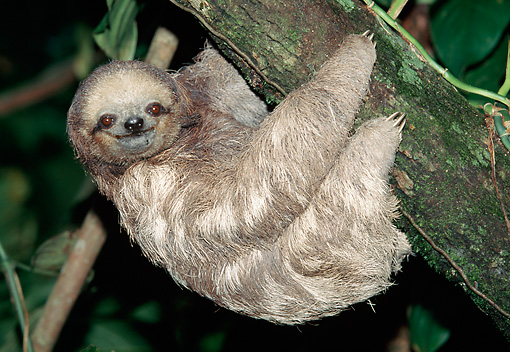 WLD 24 MH0002 01 © Kimball Stock Two-Toed Sloth Climbing Along Branch South America