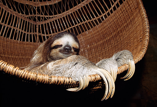 WLD 24 WF0001 01 © Kimball Stock Brown-Throated Sloth Resting In Wicker Chair Costa Rica