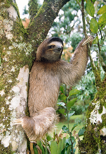 WLD 24 WF0003 01 © Kimball Stock Brown-Throated Sloth Climbing In Tree