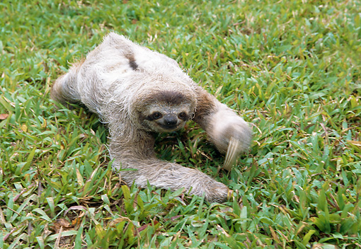 WLD 24 WF0005 01 © Kimball Stock Young Brown-Throated Sloth Crawling On Grass