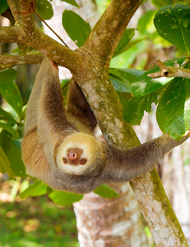 WLD 24 JZ0001 01 © Kimball Stock Two-Toed Sloth Climbing Upside-Down On Tree Branch Costa Rica