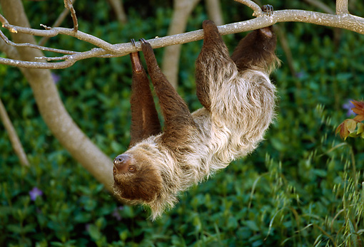 WLD 24 TL0001 01 © Kimball Stock Two-Toed Sloth Climbing Upside-Down On Tree Branch