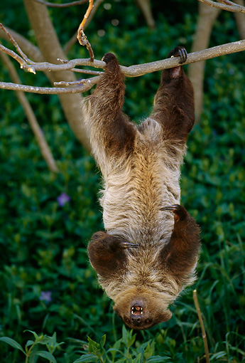 WLD 24 TL0002 01 © Kimball Stock Two-Toed Sloth Climbing Upside-Down On Tree Branch